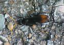 KS Wasp #2 - Entypus unifasciatus