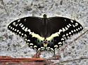 Palamedes Swallowtail - Papilio palamedes - Papilio palamedes