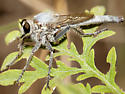 Robber fly-Efferia? genus? - Scleropogon - female