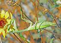 Reality Check: California Mantis? Nope, Bordered Mantis - Stagmomantis limbata - female