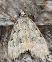 Moth - Nola