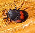 Beetle  - Platydema ellipticum