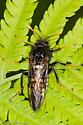 Elm Sawfly (Cimbex americana) - Cimbex americanus