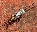 Chalcid Wasp - Torymus - female