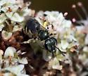 Bee sp - Halictus tripartitus