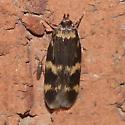 Moth 09.06.15 (9) - Oegoconia novimundi