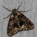 Moth sp. - Gabriola dyari