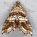 Contiger vittatalis- Hodges #4752- closest match I was able to find via pinned photo on MPG- please assist - Contiger vittatalis