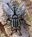 Flesh Fly - Sarcophaga - male