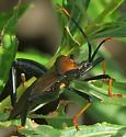 Giant Agave Bug - Acanthocephala thomasi - male