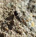 Ant Mimic Bug