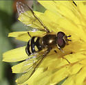 Syrphid Fly? - Eupeodes fumipennis