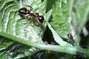 ant with aphids - Camponotus subbarbatus
