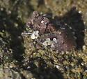 Toad Bug - Gelastocoris? - Gelastocoris oculatus