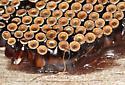 Wheelbug eggs - Arilus cristatus - Arilus cristatus