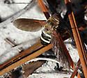 Bee Fly - Exoprosopa fasciata