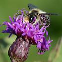 Bee on Ironweed - Megachile