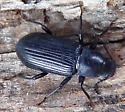 black beetle - Xylopinus saperdoides