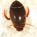 Dytiscid - Acilius semisulcatus