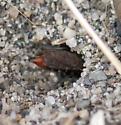 Wasp - Tachysphex - female