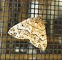 Moth species - Macaria