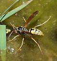Wasp species? - Polistes aurifer