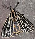 Little Virgin Tiger Moth - Hodges#8175 - Apantesis virguncula