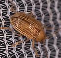 Tiny Brown Beetle - Colaspis