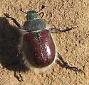 Coleoptera: Scarabaeidae: Rutelinae: Paracotalpa ? - Paracotalpa granicollis