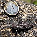 Metallic Wood-boring Beetle - Chrysobothris