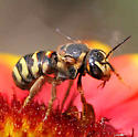 Bee - Dianthidium