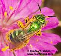 Agapostemon angelicus? - Agapostemon - female
