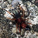 Ant-mimic spider - Myrmarachne formicaria - male