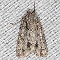 Clear Dagger Moth - Hodges #9246 - Acronicta clarescens