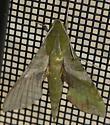 Sphinx moth: Xylophanes pluto? - Xylophanes pluto