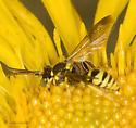 Hymenopteran on Gumplant - Nomada
