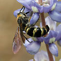 Very Large Wasp Nectaring on Lupinus diffusus - Dielis plumipes - female