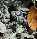 Some kind of Lichen spider? - Eustala anastera