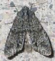 gray mottled moth - Copivaleria grotei