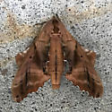 Moth  - Paonias excaecata