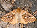 Caripeta aequaliaria - female