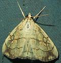 Purple-backed Cabbageworm - Evergestis pallidata
