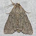 American Dagger Moth - Hodges#9200 - Acronicta americana