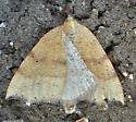 Yellow moth with orange lines