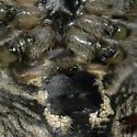 Araneus cavaticus?  - Araneus cavaticus - female