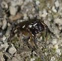 tiny little guy - Zygoballus rufipes