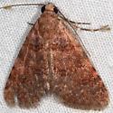 Moth - Allerastria albiciliatus
