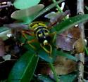 Yellowjacket hoverfly - Milesia virginiensis