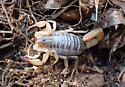 Burrowing Scorpion  - Paruroctonus silvestrii