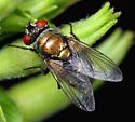 Diptera - Lucilia cuprina